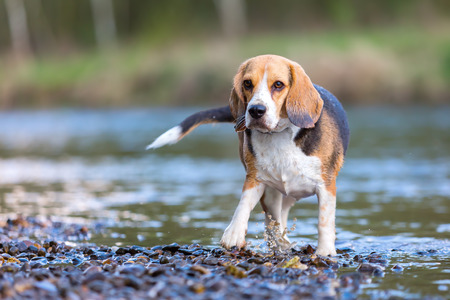 portrait picture of a Beagle dog at the river Stock Photo