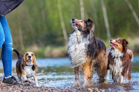 beagle mix: young woman playing with a Beagle, a Collie-Mix and an Australian Shepherd dog at a river Stock Photo