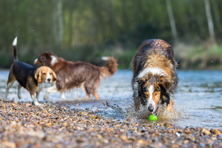 beagle mix: picture of a Collie-Mix dog a Beagle and an Australian Shepherd playing in a river Stock Photo