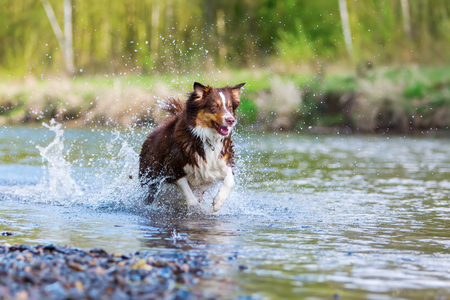 picture of an Australian Shepherd dog running in a river