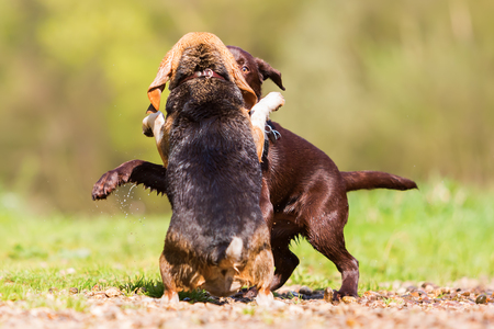Labrador puppy and Beagle dog scuffling outdoors Stock Photo