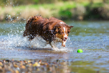 picture of an Australian Shepherd dog running in the river Stock Photo