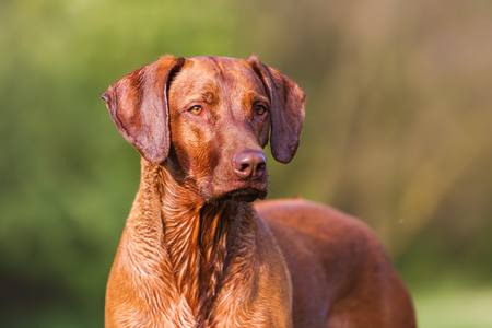 head portrait picture of a Rhodesian ridgeback dog