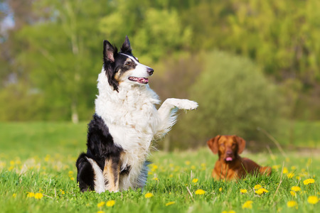 picture of a Border Collie raising the paw