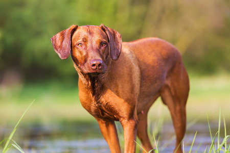 portrait picture of a Rhodesian Ridgeback at a pond