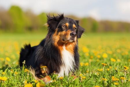 portrait of an Australian Shepherd dog lying on the meadow Stock Photo