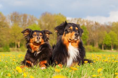 portrait of two Australian Shepherd dogs on the meadow