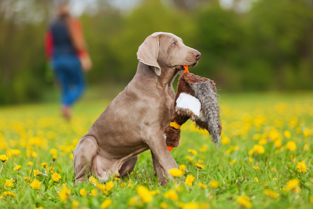 plushie: Weimaraner puppy with a pheasant plushie in the snout
