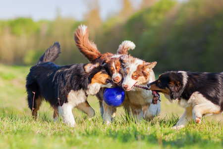 picture of four Australian Shepherd dogs fighting for a ball
