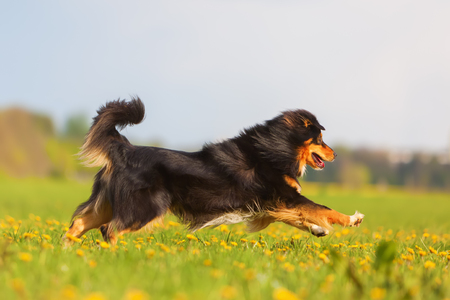 picture of an Australian Shepherd running over the meadow Stock Photo