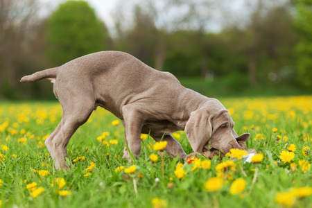 plushie: picture of a cute Weimaraner puppy in a dandelion meadow