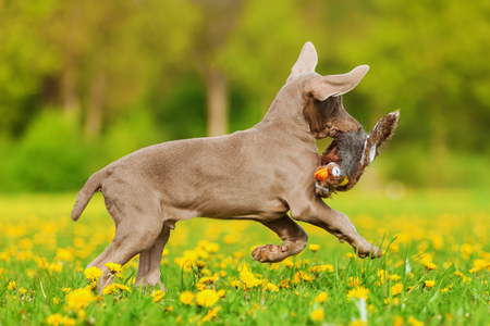 plushie: cute Weimaraner puppy runs with a pheasant plushie in the snout over the meadow