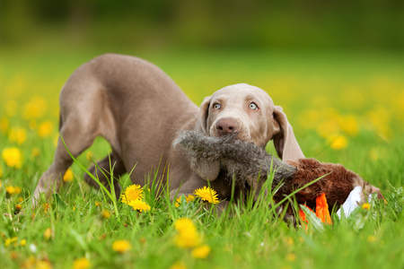plushie: cute Weimaraner puppy playing with a pheasant plushie in the meadow