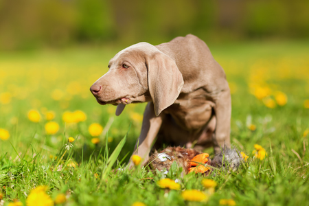 plushie: cute Weimaraner puppy plays with a pheasant plushie in a dandelion meadow