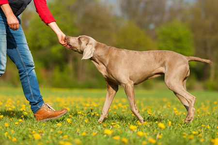 picture of a woman with a Weimaraner on the meadow