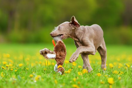 picture of a Weimaraner puppy playing with a plush pheasant