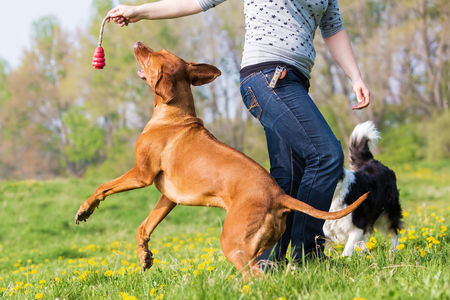 woman plays with a Border Collie and a Rhodesian ridgeback on the meadow