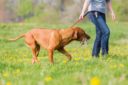 woman plays with a Rhodesian ridgeback dog on the meadow