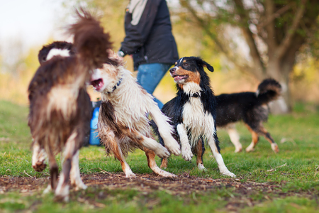 picture of a person playing with four Australian Shepherd outdoors Stock Photo