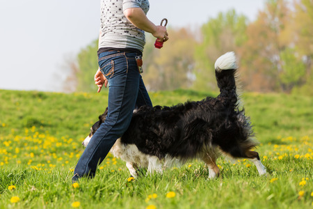 picture of a woman making dog dancing with a Border Collie Stock Photo
