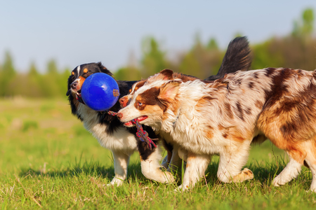 pull toy: picture of three Australian Shepherd pulling at a ball