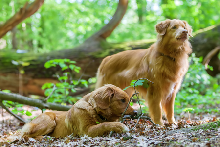 portrait of Nova Scotia Duck Tolling Retriever in the forest