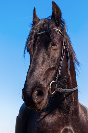portrait of a Friesian horse against blue sky Stock Photo