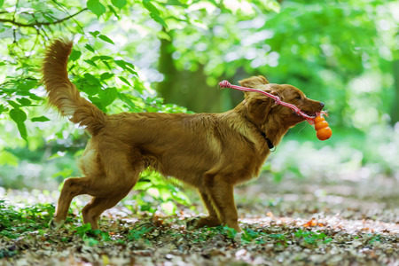 Nova Scotia Duck Tolling Retriever plays in the forest Stock Photo