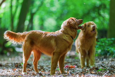 two Nova Scotia Duck Tolling Retriever playing in the forest