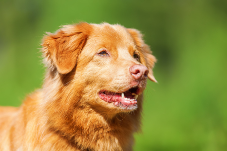 outdoor portrait of a Nova Scotia Duck Tolling Retriever Stock Photo