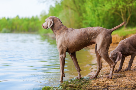 Weimaraner adult dog and a puppy playing at a lake