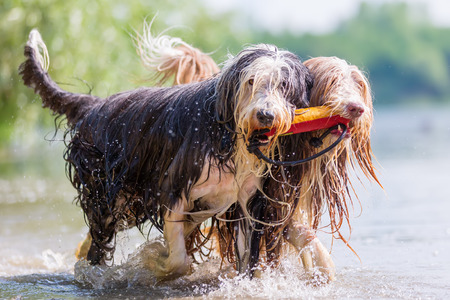 Bearded Collies with treat bag in the snout walking together in a lake