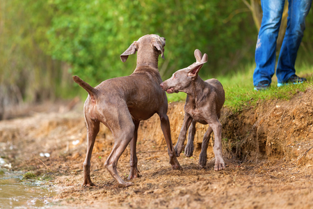 Weimaraner adult dog and a puppy playing lakeside Stock Photo