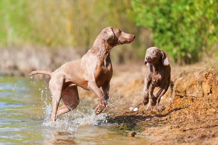 Weimaraner adult and puppy playing at the border of a lake Stock Photo