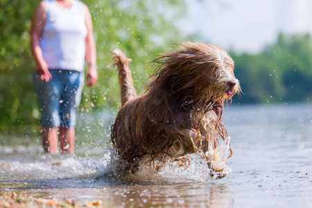 bearded collie with wet and flowing fur runs in a lake Stock Photo