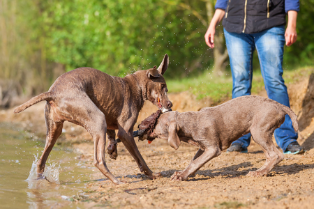 Weimaraner adult and puppy fighting for a toy Stock Photo