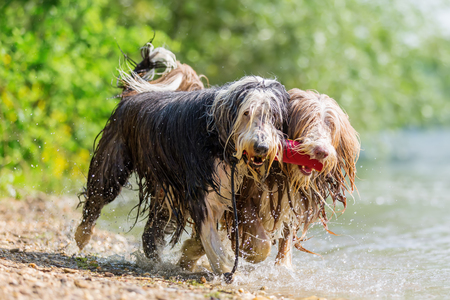 two Bearded Collies with treat bag in the snout walking together in a lake