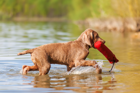 Weimaraner puppy retrieving a treat bag out of a lake