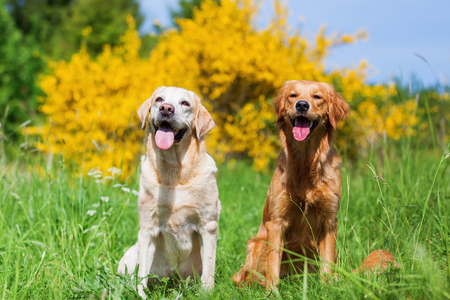 portrait of a golden and a labrador retriever who are sitting in the meadow