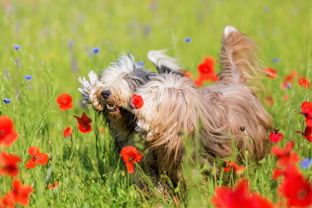 two bearded collies with a rope in the snout in a poppy meadow