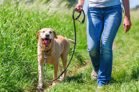 mature woman hiking with a labrador retriever in the summer landscape Banque d'images