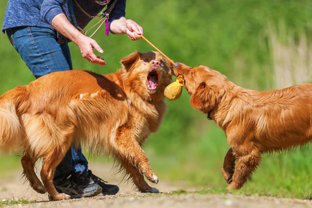 mature woman plays with two Nova Scotia duck tolling retriever on a forest path