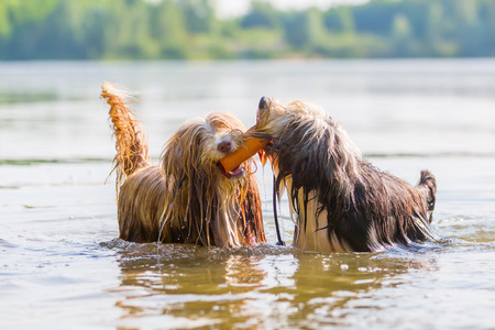 two bearded collies playing with a toy in a lake