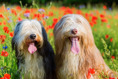 portrait picture of two bearded collies in a poppy field Stock Photo