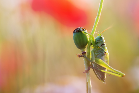 macro picture of a grasshopper at a faded poppy flower