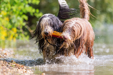 two bearded collies walking in a lake