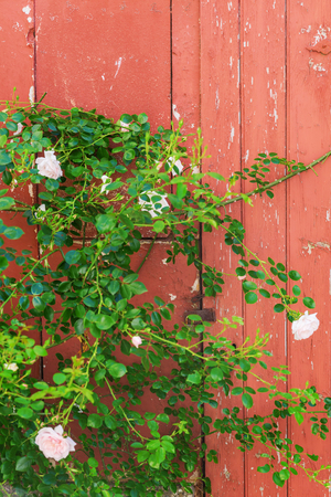picture of a climbing rose at an old wooden door