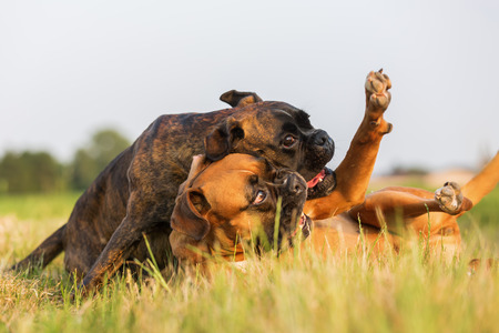 picture of two boxer dogs who are scuffling on the meadow