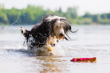 bearded collie running through a lake to receive a treat bag Stock Photo