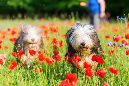 picture of two bearded collies who are running through a poppy field
